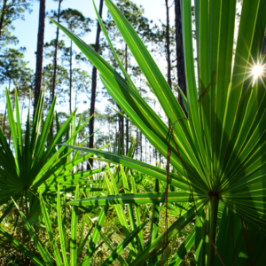 The Saga of Saw Palmetto (and what that means for MegaFood!)